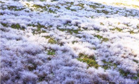 Cánh đồng tuyết giữa rừng núi Đà Lạt
