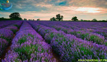 """Hoa Lavender ở Đà Lạt """"hoa của sự thủy chung và nối nhớ"""""""