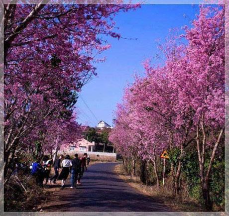 Lễ hội hoa mai anh đào Đà Lạt