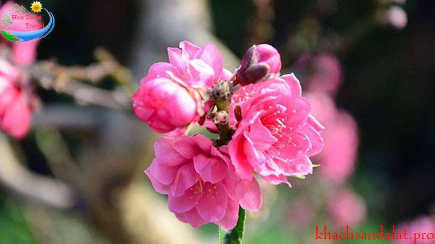 Vườn Đào Hùng Kim Đà Lạt