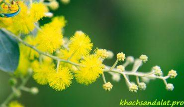 Đèo Mimosa Đà Lạt