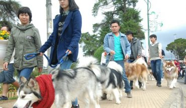 Chó Alaska Đà Lạt