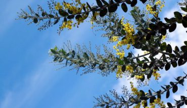 Hoa Mimosa Đà Lạt