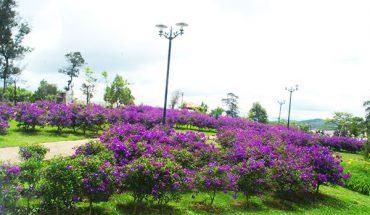 Hoa Mua Đà Lạt