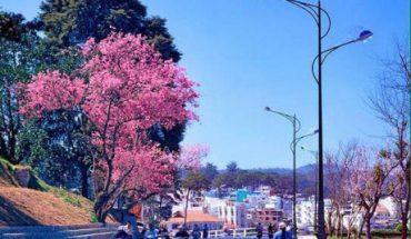 Vẻ đẹp của hoa mai anh đào trên thành phố mộng mơ