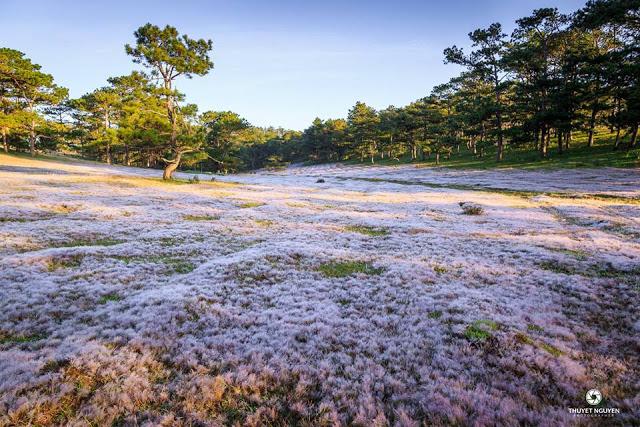 Trần gian tiên cảnh với đồi cỏ hồng ở Đà Lạt