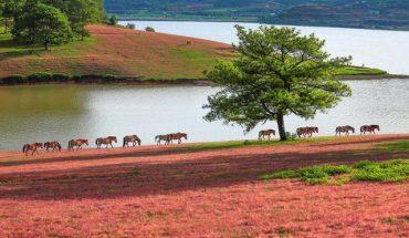 Mùa cỏ hồng ở Đà Lạt đẹp như tranh vẽ