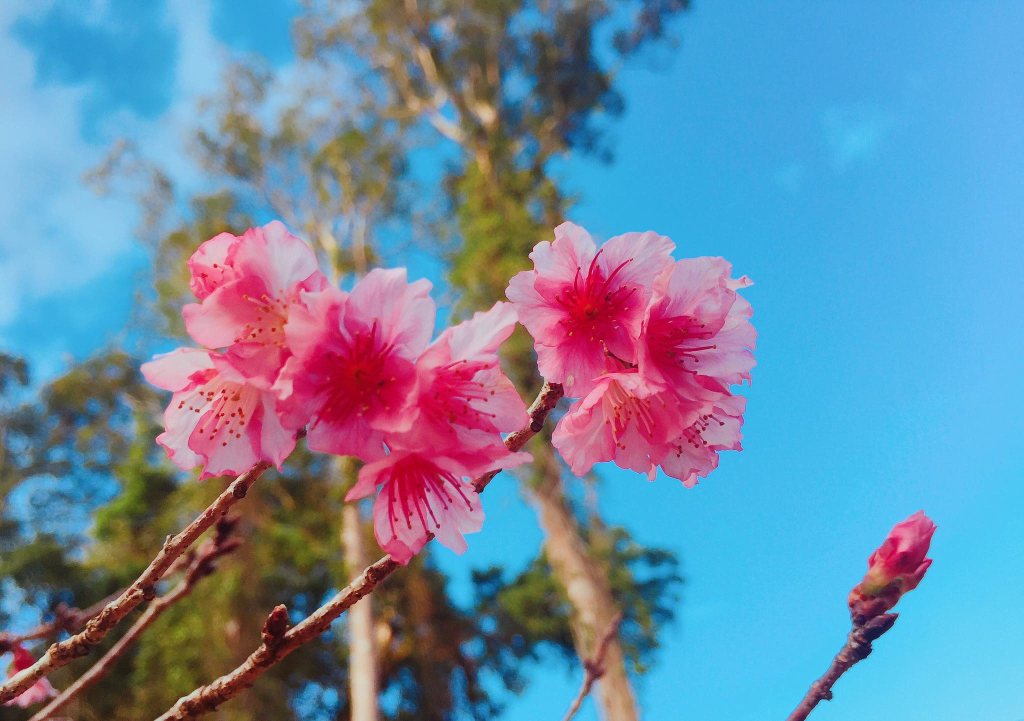 Không gian tham quan hoa anh đào Nhật Bản mở cửa Tại Đà Lạt