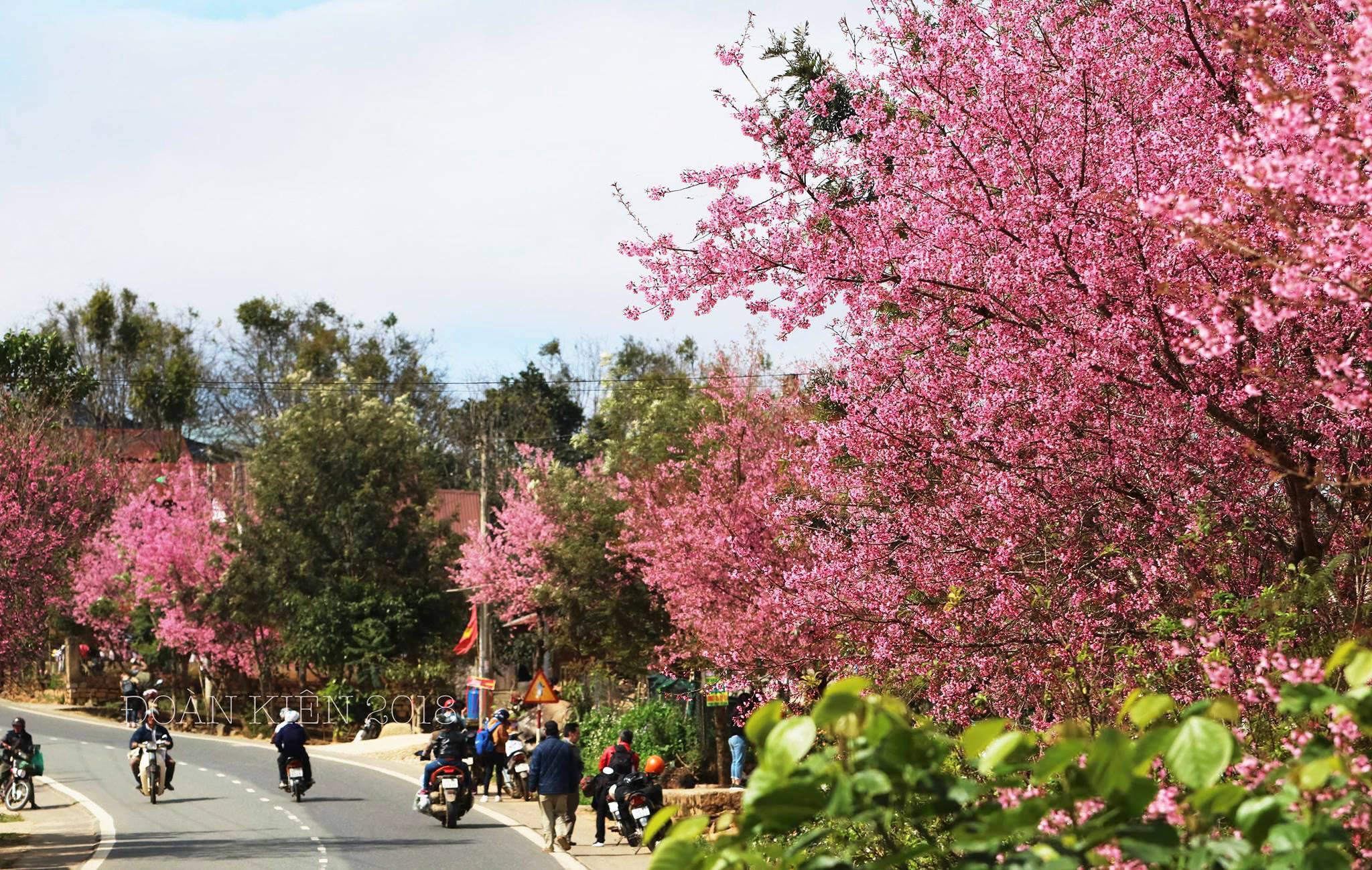 Lễ hội hoa Mai Anh Đào chính thứ diễn ra vào ngày 26 tháng 1