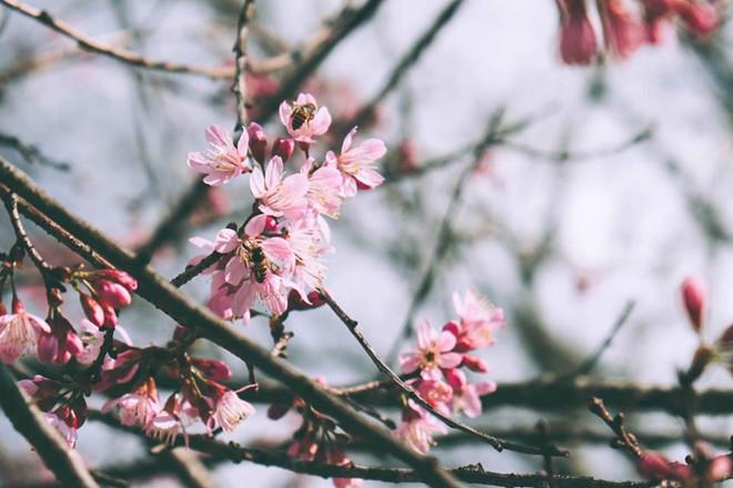 Hoa Mai Anh Đào nhuộm hồng 1 góc trời Đà Lạt