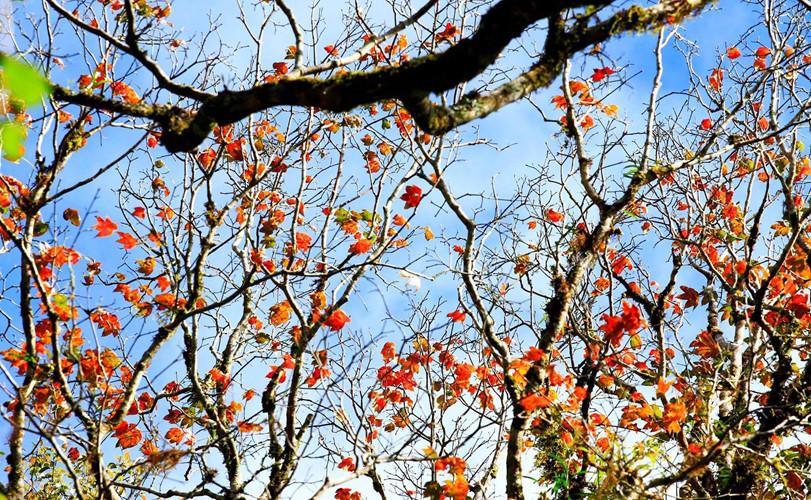 Du lịch Đà Lạt đến với rừng lá phong trước khi rừng thay lá