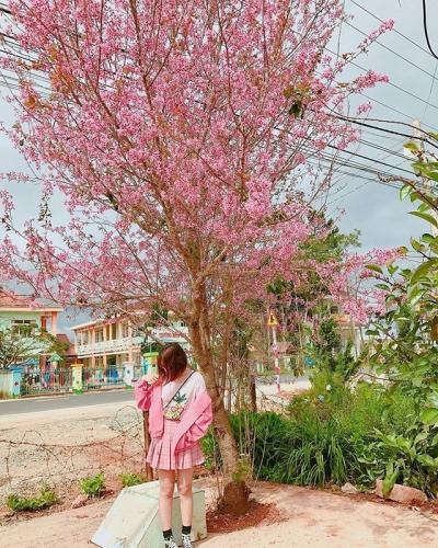 Đà Lạt chờ hoa Mai Anh Đào nở rộ mới ấn định ngày tổ chức lễ hội