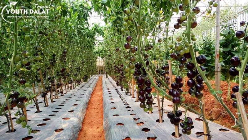 vườn cà chua đen đà lạt