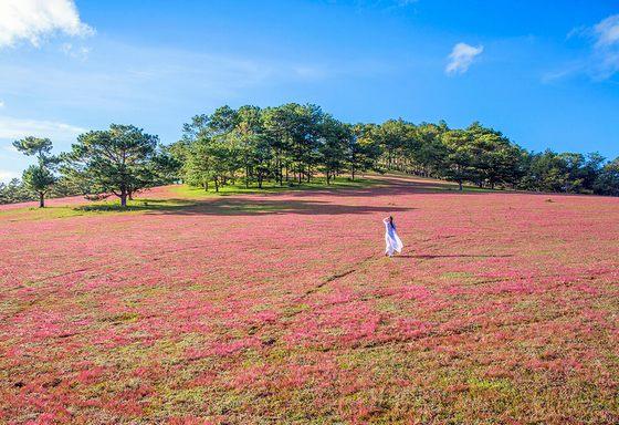 Đồi cỏ hồng Đà lạt 2019