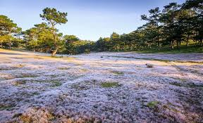 đồi cỏ hồng thung lũng vàng