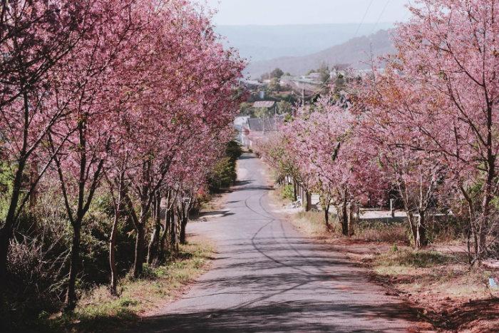 Những con đường rợp bóng hoa mai Anh Đào là những trải nghiệm không thể quên với du khách.