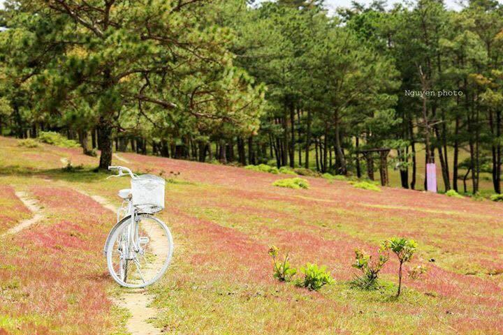 đồi cỏ hồng thung lũng vàng Đà Lạt